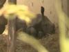 Here's a Baby White Rhino