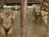 Four Endangered Tiger Cubs Born