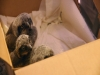 Five Orphaned Baby Owls Need a Little Dee-LC