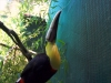 Meet Grecia the Toucan