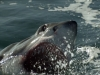 Amazing Shark Breaches Caught on Video