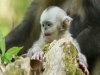 Stubbed-Nose Monkey Gives Birth