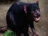 Tasmanian Devil Gets a Pace Maker