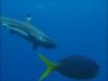 Sharks Worth $18 Million Annually to Island Nation of Palau